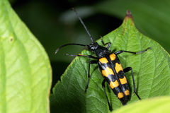 Four-banded longhorn beetle Royalty Free Stock Image