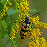 Four-banded longhorn beetle Stock Image