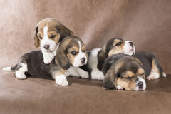Four beagle pup. On a brown background Royalty Free Stock Photography