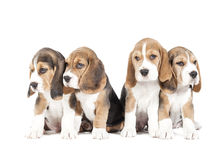 Four beagle puppy Stock Photo