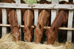 Four beautiful foals eating hay rural scene Royalty Free Stock Photos