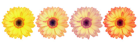 Four beautiful gorgeous gerbera flowers isolated on white Stock Photos