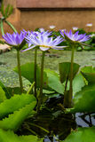 Four beautiful purple lotus Royalty Free Stock Photo