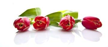 Four beautiful tulips Stock Photo