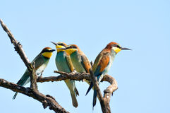 Four bee eaters Stock Photos