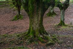 Four beech trees & roots stock photo