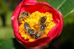 Four Bees collecting honey inside the flower. Royalty Free Stock Photo
