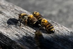 four bees on a piece of wood royalty free stock photo