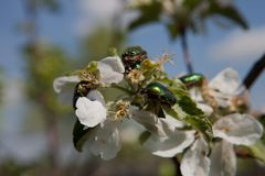 Beetle Brantovka Royalty Free Stock Photography