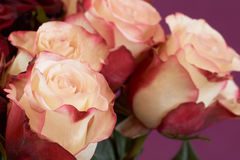 Four beige roses Royalty Free Stock Photo