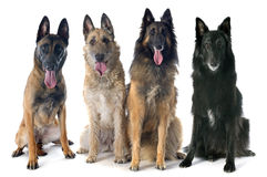 Four belgian shepherds Royalty Free Stock Photography