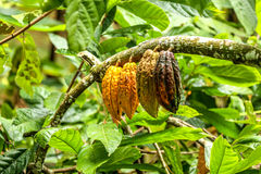 Four big cacao beans hanging from cacao tree branch. Yello, brown , orange and green cacao beans hanging from the branch of green Theobroma cacao tree in Bali Stock Photography