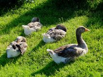 Four big grey geese sitting on the grass under sunlight cleaning feathers stock photo