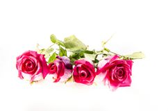 Four big pink roses with some green. A rose is a woody perennial flowering plant of the genus Rosa, in the family Rosaceae, or the flower it bears. There are Stock Photo