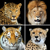 Four big wild cats Stock Image