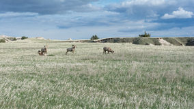Four bighorn sheep on grassy field Royalty Free Stock Photos
