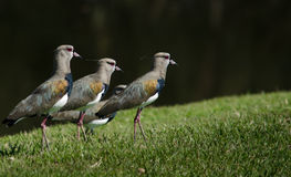 Four Birds. A group of for southern lapwing birds, standing on grass Royalty Free Stock Photos