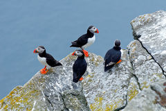 Four birds on the rock with blue sea in the background. Atlantic Puffin, Fratercula artica, artic black and white cute bird with r Royalty Free Stock Images