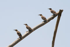 Four birds sitting in a line. Four birds sitting in line on wooden post, all looking to left stock photography