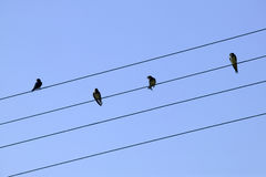 Four birds on the wire Stock Photos
