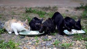 Five Thai cats are eating food stock video footage