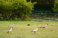 Four black faced ibises Royalty Free Stock Images