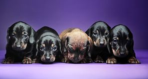 Five dachshund puppies studio quality. Four black and one white dachshund puppies studio quality Royalty Free Stock Images