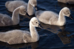Four black swan cygnets swimming Royalty Free Stock Image