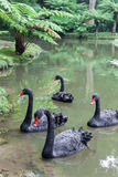 Four Black Swans Swimming on Lake in Park, Italy Stock Images
