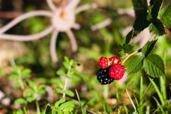 Four blackberries growing on vine Stock Photos