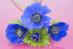 Four blue Anemones on a pink background Royalty Free Stock Photography
