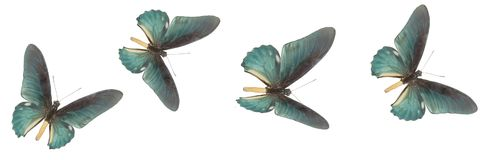 Four blue butterflies on a white background stock photography