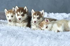 Four blue-eyed copper and light red husky puppies lying on white blanket Stock Images