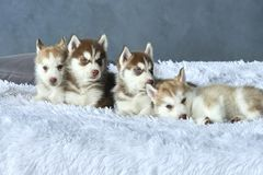 Four blue-eyed copper and light red husky puppies lying on white blanket Stock Photos