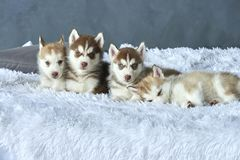 Four blue-eyed copper and light red husky puppies lying on white blanket Royalty Free Stock Image