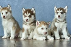 Four blue-eyed copper and light red husky puppies on wooden floor and gray-blue background Royalty Free Stock Photography