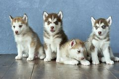 Four blue-eyed copper and light red husky puppies on wooden floor and gray-blue background Stock Photos