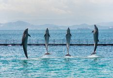 Four Standing Bottle-nose Dolphins stock images