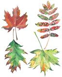 Four bright beautiful colorful leaves autumn green red brown maple and rowan. Watercolor hand illustration Stock Photo