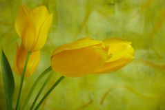 Bright yellow tulips against  a brightly painted abstract wall. Four bright yellow tulips with leaves and stems against a lively painted bright green abstract Stock Images