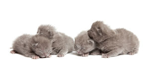 Four british blue shothair kittens Royalty Free Stock Photo