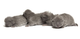 Four british blue shothair kittens Stock Photography