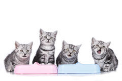 Four british short hair kitten a a food bowl Stock Photography