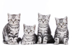 Four british short hair kitten Stock Images