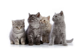 Four british short hair kittens Royalty Free Stock Photo