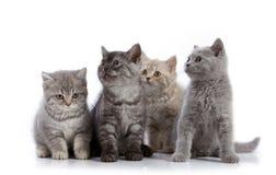 Four british short hair kittens Royalty Free Stock Photo