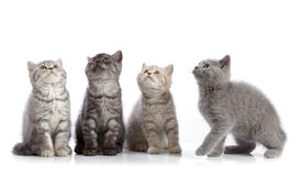 Four british short hair kittens Royalty Free Stock Images