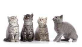 Four british short hair kittens Royalty Free Stock Images
