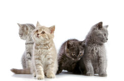 Four british short hair kittens Stock Photo