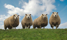 Four brothers. Four sheep on top of the hill Stock Image